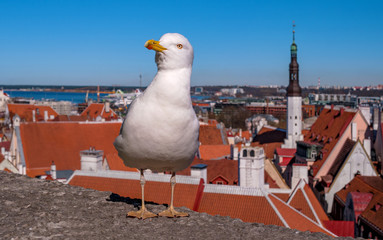 White seagull is standing on the fortress wall on the background of the city tiled roofs of Tallinn. Estonia.