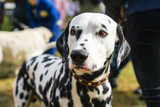 portrait of a beautiful dog Dalmatian close up on the street