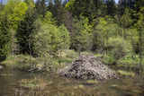 A typical beaver lodge located in the forest wetland