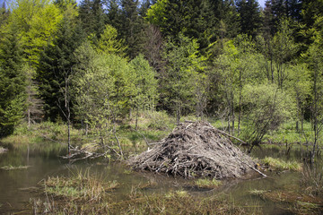 A typical beaver lodge located in the forest wetland © Pawel