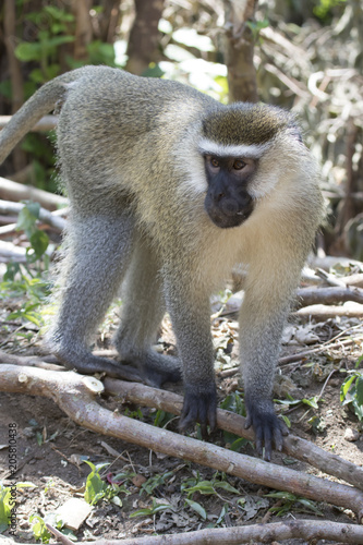 Foto Murales male Vervet Monkey standing among the trunks of a banana on a small plantation