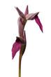 Wild Tongue Orchid, or Tongue Serapias over white - Serapias lingua