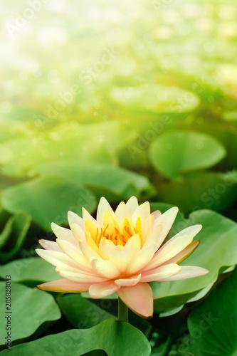 Plexiglas Zen beautiful pink lotus flower in blooming at sunset
