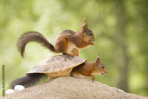 Canvas Natuur red squirrels are sitting inside a turtle shell
