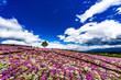 リビングストンデイジーの花畑