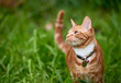 Beautiful  young ginger red tabby cat looking at peace in a patch long green grass