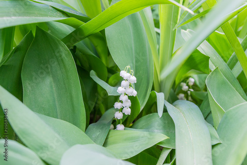 Fotobehang Lelietjes van dalen Inflorescence of the lily of the valley among of leaves