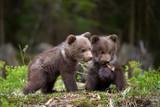 Wild brown bear cub closeup - 205839422