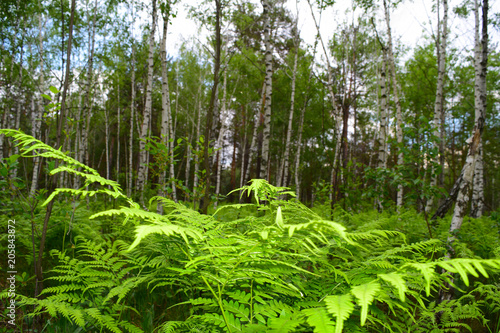 View through green plants on birch trees in the forest.