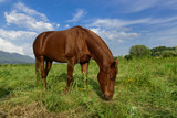 Grazing brown horse on a green grassy meadow in Slovenia