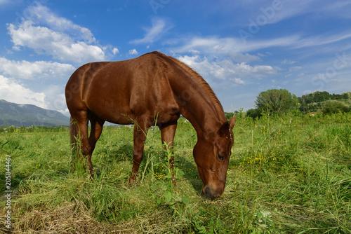 Fotobehang Paarden Grazing brown horse on a green grassy meadow in Slovenia