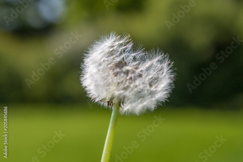 Canvas Paardenbloemen A close up of a dandelion seedhead with a green background
