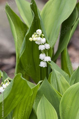 Sticker White flowers of lily of the valley and green leaf.