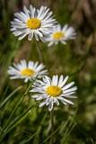 Gänseblümchen auf der Frühlingswiese