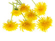 yellow dandelions on a white background