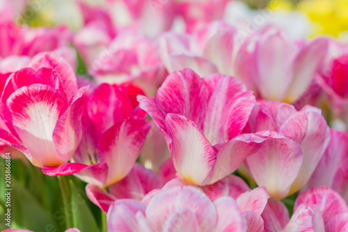Fotobehang Candy roze bright blooming field of spring tulips of purple and white color