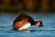 Quadro Eared Grebe - Podiceps nigricollis swimming in the water taking the bath