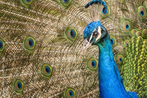 Aluminium Pauw close up peacock in nature
