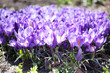 Blooming purple crocuses on a spring sunny day. Photo of plants with violet petals, selective focus