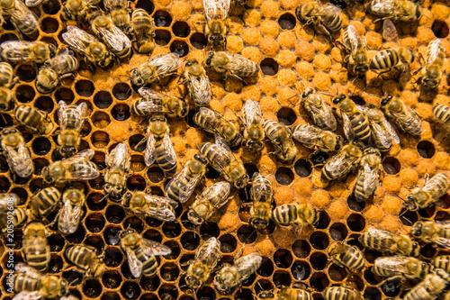 Fotobehang Bee Bienenbeute mit Larven