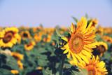 summer sunflowers field sky yellow green blue orange