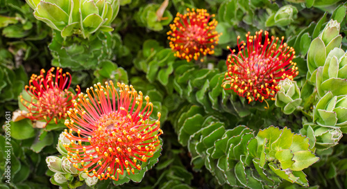 Red with yellow tips pincushion flowers buy photos ap images red with yellow tips pincushion flowers mightylinksfo