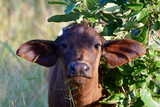 Fototapeta Sawanna - young buffalo looking into camera,Kruger national park,South Africa © gallas