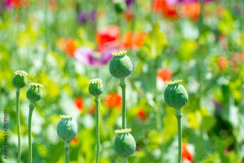 Plexiglas Klaprozen fruit body of lila poppy - opium poppy - papaver somniferum