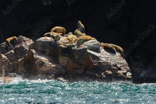 Foto Murales South American sea lions at Ballestas Islands, Peru