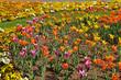 Tulpen, Hornveilchen und  Stiefmütterchen