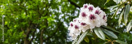 Aluminium Azalea Panorama or web banner with white purple azalea flower on a green tree background