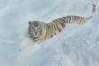 Wild white bengal tiger is lying on white snow.