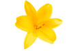 Quadro yellow lily isolated