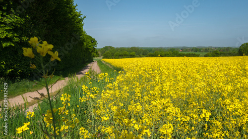 Fotobehang Oranje Rapeseed field along a path with a rape blossom in the foreground