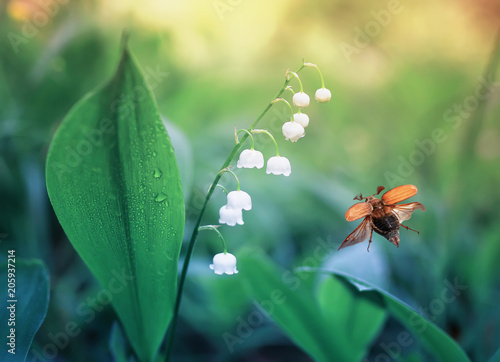 Canvas Natuur may beetle flies over forest glade with white beautiful Lily of the valley flowers