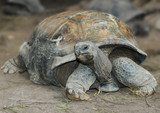 The Aldabra giant tortoise (Aldabrachelys gigantea), from the islands of the Aldabra Atoll in the Seychelles