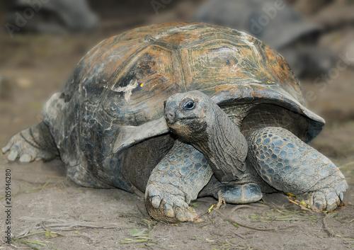 Aluminium Schildpad The Aldabra giant tortoise (Aldabrachelys gigantea), from the islands of the Aldabra Atoll in the Seychelles