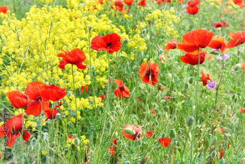 Plexiglas Geel Red poppies on a field with green grass and yellow flowers