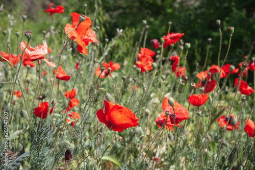 Plexiglas Klaprozen Wild red opium poppies flowers