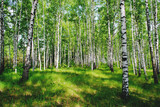 A picture of a birch grove illuminated by the rays of the spring sun - 205951048