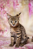 Savannah kitten F1 color - the spot on the gold