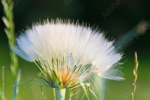 Canvas Paardenbloemen Dandelion. Dandelion seed