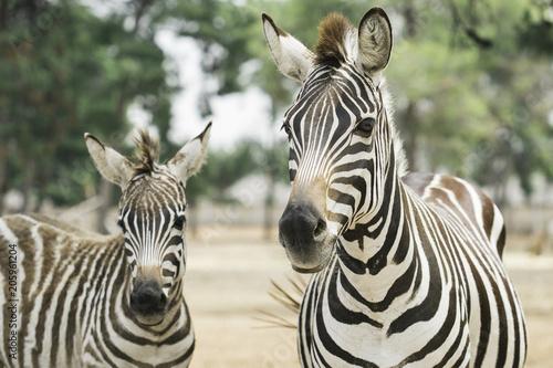 beautiful zebras