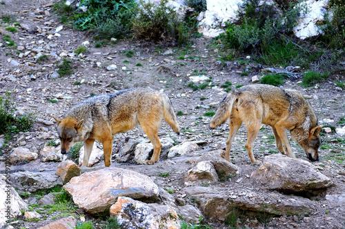 Aluminium Wolf Iberian wolf