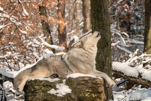 Fotobehang Wolf Gray wolf howling in the snow