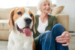 Portrait of gorgeous purebred beagle dog sitting with his senior owner on floor at home enjoying time together, focus on foreground, copy space