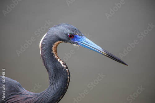 Macro of a Tricolored Heron, wetlands