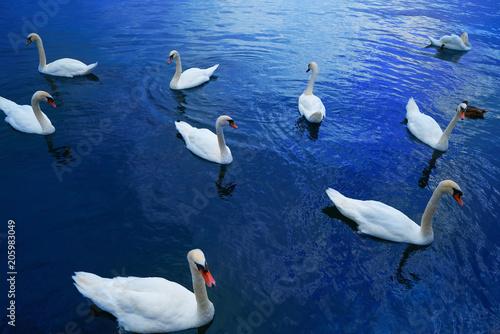 Swans in Geneve Geneva of Switzerland Swiss - 205983049