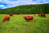 Cow cattle in Harz forest of Germany - 205984002