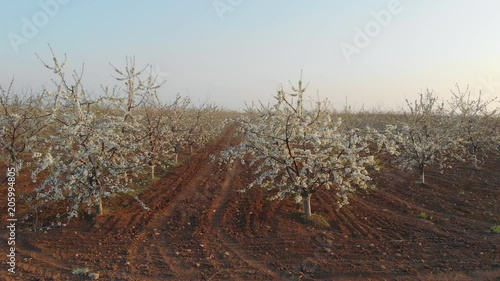 Aerial view of a blossoming of fruit trees in a field. Sweet cherry garden nature landscape.